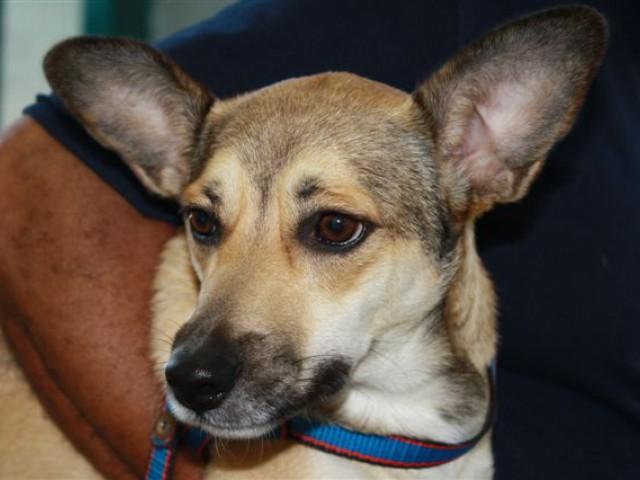 Domesticação do cão intensificou-se a partir da capacidade do animal se comunicar com os seres humanos