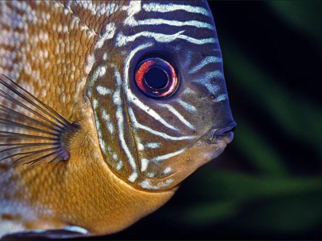 Peixe amazônico produz substância similar ao leite materno para alimentar seus filhotes