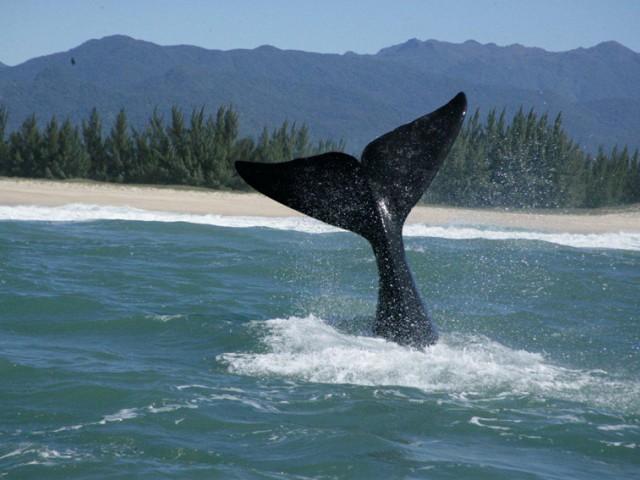 A temporada de 2010 foi muito favorável à observação das Baleias Franca, ameaçadas de extinção