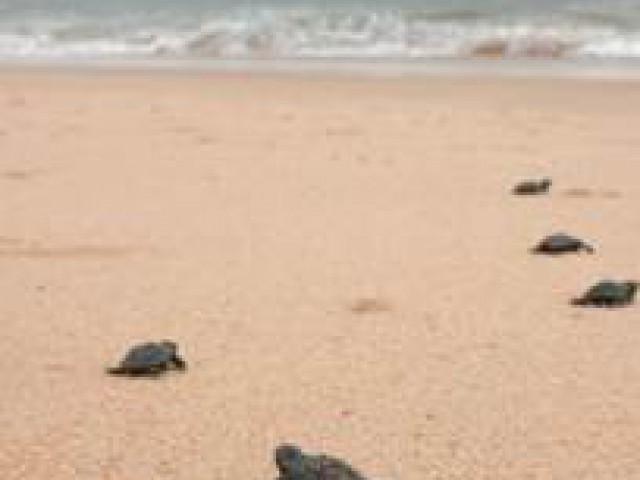 Turistas acompanham soltura de filhotes de tartarugas marinhas