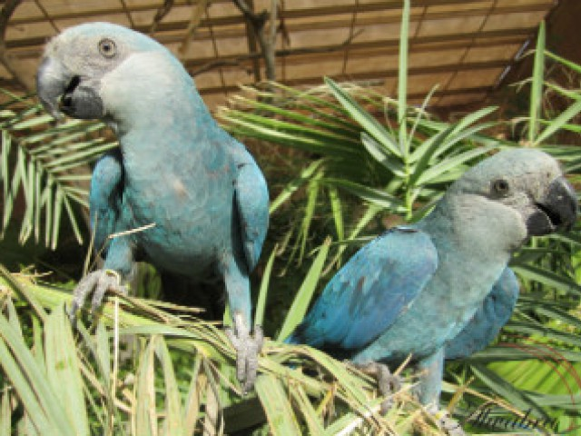 Parceria gera ararinha-azul por inseminação artificial