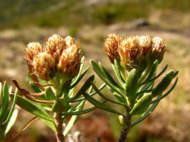 Descoberta nova espécie de planta no Caparaó